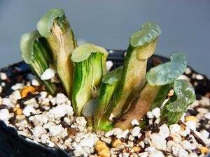 ハオルチア オブツーサ 多肉植物  玉扇錦