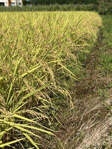 【新潟産】令和2年産コシヒカリ白米約22.5kg(古米)