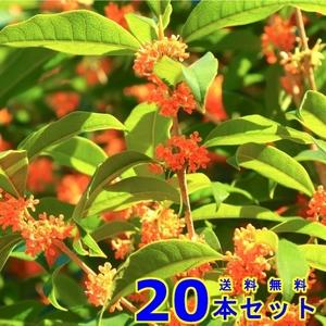 植木 キンモクセイ (金木犀) 15.0p 20本 樹高0.5m前後 15.0p 植木 苗木 シンボルツリー 生垣