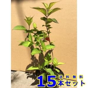 植木 アジサイ アナベル (紫陽花) 15.0p 15本 樹高0.3m前後 15.0p 植木 苗木 シンボルツリー 生垣
