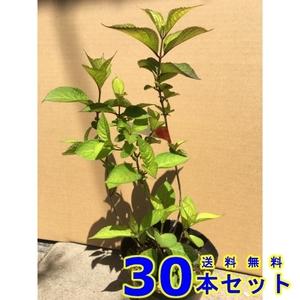 植木 アジサイ アナベル (紫陽花) 15.0p 30本 樹高0.3m前後 15.0p 植木 苗木 シンボルツリー 生垣