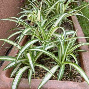オリヅルラン 子株 1つ 寄せ植えに 初心者向け ガーデニング 観葉植物 オリズルラン 折り鶴 苗 簡単 増える