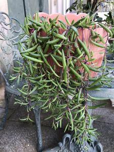 【訳あり】ルビーネックレス 多肉植物 ガーデニング カット苗 根付き 約50cm分 初心者向け 簡単に増える