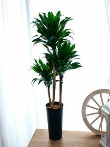 ドラセナ コンパクタ  観葉植物 高さ 85センチ 3本立て インテリアグリーン