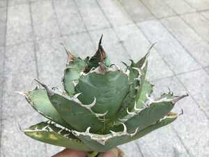 多肉植物 【特選】アガベ チタノタ厳竜南霸王強棘極上株(03)