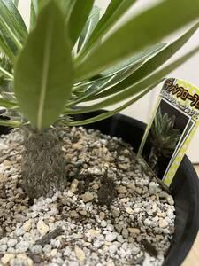 送料無料 パキポディウム デンシフローラム 3股 コーデックス 塊根植物 状態良好 恵比寿大黒 グラキリス 恵比寿笑い ホロンベンセ