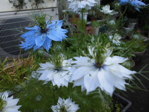 ドライフラワーにも(ニゲラ)50粒、ブルー、白の種、、