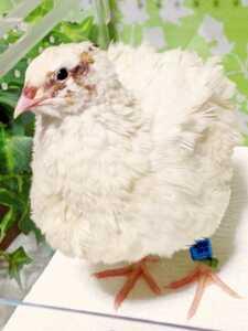 色変わり並ウズラの種卵8個 並うずら 並鶉 日本ウズラ 日本うずら 日本鶉 有精卵
