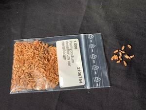 【送料無料】種子10粒 パキポディウム デンシフローラム(シバの女王の玉櫛)No.1