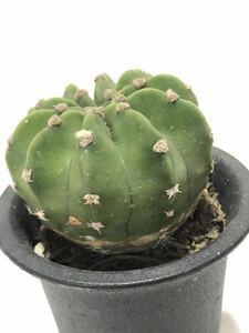 多肉植物 サボテン 刺無短毛丸(B)