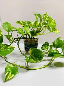 つる長ポトス ハイドロカルチャー カラーサンドアート 観葉植物 インテリア小物 エキスタ イグアス フォレスティア