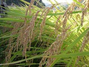 野菜3kg入 農家直 令和3年度 京都産ミルキークイーン白米20kg特別栽培,減農薬 送料無料