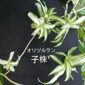 【自家製苗】オリヅルラン 子株 5株 (根つき)