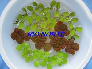 【期間限定】NO.4 浮草3種類 ドワーフアマゾンフロッグピット、フィランサス・フルイタンス、オオサンショウモ 無農薬育ち