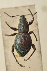 標本 389-A112 稀少 マウイ島産? Curculionoidea 体長約7.9mm 現状特価