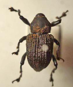 標本 395-A110 稀少 モモン川産 Curculionidaeの一種 体長約17mm 現状特価