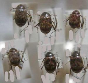 標本 147-24 稀少 シャカラ産 ビロウドコガネ亜科 6ex 現状特価
