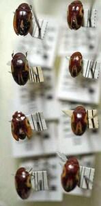 標本 664-30 稀少 ブラジリヤ産 ダエンマルトゲムシ亜科 8ex 現状特価