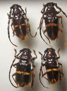 標本 599-36 イキトス産 カミキリムシ Cerambycidae 4ex 現状特価