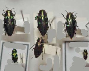 標本 371-29 稀少 チリ/サティポ産ほか Anthaxia SP.他 6ex 現状特価