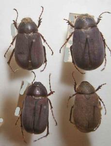 標本 140-18 稀少 サンパウロ/シャカラ産他 Melolonthidae Holotrichia亜科 4ex 現状特価