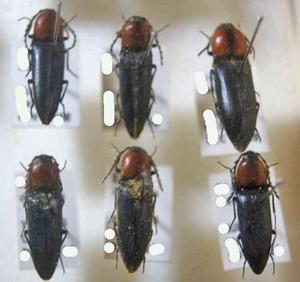 標本 66-46 激レア チリ産 Click beetle 6ex 現状特価