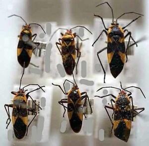 標本 636-48 稀少 サティポ産 Pyrrhocoris apterus亜科 6ex 現状特価