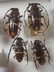 標本 599-38 稀少 イキトス産 カミキリムシ Cerambycidae 4ex 現状特価