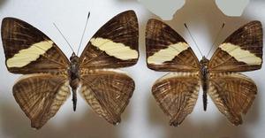 標本 483-15 稀少 産地不明 Limenitidini亜科 2ex 現状特価