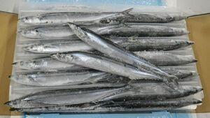 〔業務用大量・お買い得〕〔送料無料〕北海道産冷凍さんま8kg(60~80尾前後)〔K〕北港直販☆サンマ・秋刀魚