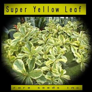 激レア斑入!■アデニウム スーパーイエローリーフ 新鮮 種子5粒 Super Yellow Leaf γ θ **ц** ②