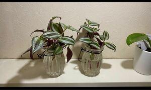 観葉植物 トラディスカンティア プラチナエレガンス 根付き 苗 10カット強 水栽培、鉢植えに。