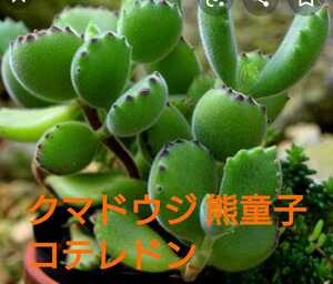 多肉植物 熊堂子 くまどうじ クマドウジ 3号ポット苗