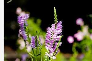2【花終わり、来期よう】ハナトラノオ カクトラノオ 花虎の尾 苗 3,5号ポット 【多年草】茎をカットして発送