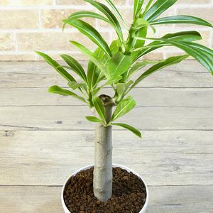 【パキポディウム】 ルテンベルギアナム 4号 28 PP Pachypodium rutenbergianum (塊根植物・多肉植物・コーデックス)