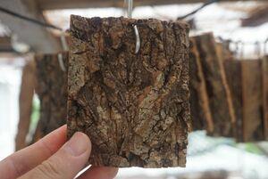 コルク 樹皮 フック付き (8×10cm) 1枚 チランジア エアープランツ 洋蘭 小型