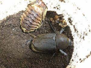 ヘラクレスリッキー 3齢幼虫 メス ヘラクレス カブトムシ