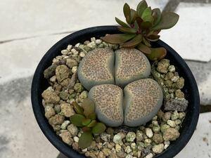 13. 多肉植物 メセン リトープス Lithops terricolor