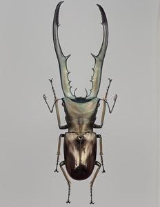 ペレン島産 メタリフェルホソアカクワガタ Cyclommatus metallifer finae ♂ 77-78mm【標本】