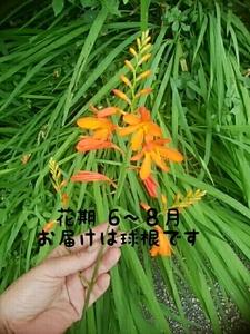 姫檜扇水仙【球根:10個以上保証】多年草/山野草 【送料込み】