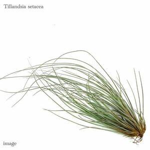 チランジア セタセア クランプ (エアープランツ ティランジア setacea)