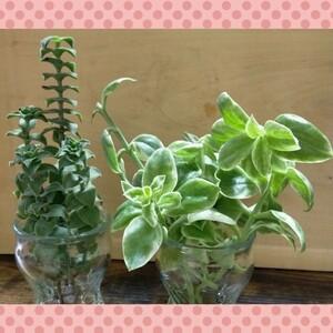 挿し木の季節♪☆多肉植物 カット苗 星の王子&斑入りベビーサンローズ 大きめ8本☆