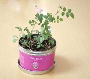 ★ ミニバラ ★ 小さな栽培セット リトルガーデン