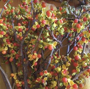 9月23日収穫 ツルメモドキ まん丸オレンジの実がとってもキュート ドライフラワー