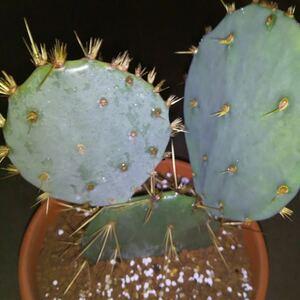 opuntia allairei オプンチア サボテン 多肉植物 希少種 抜き苗