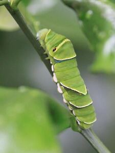 ■ナミアゲハチョウ幼虫 2匹 ■