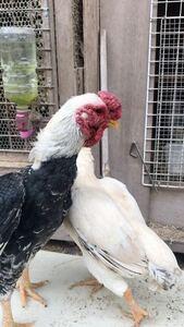 九州は熊本産 小軍鶏白笹種卵5個 有精卵