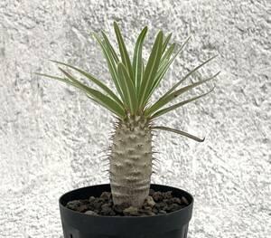 パキポディウム グラキリス8国内群生実生株 塊根植物 コーデックス b5
