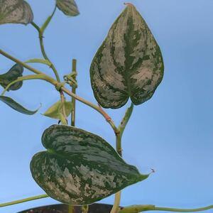 極上美品 観葉植物2種 フィロデンドロン ペインテッドレディとフィロデンドロン ブランティアノム