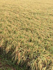 新米令和3年9月1日刈取り無農薬伊賀米コシヒカリ玄米30キロ袋化粧箱入り新鮮農家直送!